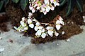 Begonia heracleifolia heracleifolia 2zz.jpg