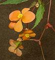 Begonia sutherlandii 150803-2.jpg