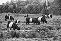 Belted Galloway Cattle (15628253862).jpg