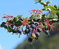 Berberis darwinii - Flickr - Dick Culbert.jpg