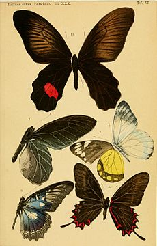 Butterfly illustrations by Eduard Honrath