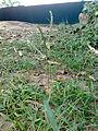 Bermudagrassflower.jpg