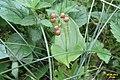 Berries of Maianthemum bifolium (Ehrwald, Hochthörl-Weg) (24317435799).jpg