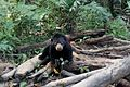 Beruang Madu Sehabis Makan.jpg