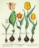 Besler H.E. tulipa 1 alt colors.jpg