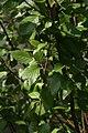Betula nigra Little King 4zz.jpg