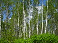 Birch in Voronezh obl..JPG