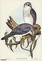 Bird illustration by Elizabeth Gould for Birds of Australia, digitally enhanced from rawpixel's own facsimile book14.jpg