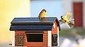 Birdy nam nam (11012632714).jpg