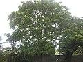 Bischofia javanica Blume (AM AK316949-1).jpg