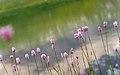Bistorta officinalis - European bistort 02.jpg