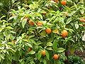 Bitter oranges.jpg