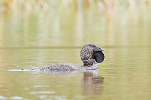 Musk duck - Male, Sandford, Tasmania, Australia