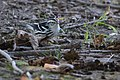 Black-and-white Warbler (29551437794).jpg