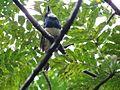 Black-breasted-Puffbird - Flickr - treegrow.jpg