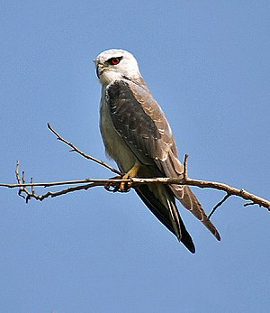 Black-winged Kite Imw IMG 9888.jpg