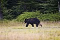 Black Bear by the Stone House.jpg
