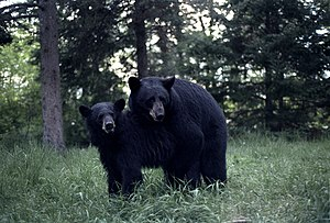 Two black bears mating