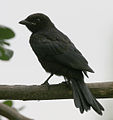 Black Drongo (Dicrurus macrocercus)- Juvenile at Kolkata I IMG 7812.jpg