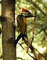 Black Rumped Flameback Woodpecker.jpg