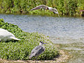 Black headed gull harrying heron (14379490194).jpg