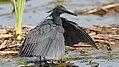Black heron, Egretta ardesiaca, at Marievale Nature Reserve, Gauteng, South Africa. (25201552667).jpg