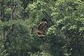 Black kite (Milvus migrans) D35 6645 01.jpg