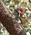 Black rumped Flameback I IMG 1829.jpg