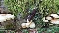 Black slug Arion ater munching fungi.jpg
