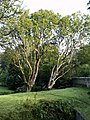 Blarney Castle Trees - geograph.org.uk - 596635.jpg