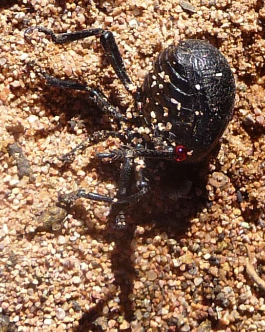 Bloody -nosed Beetle%5E Timarcha tenebricosa - Flickr - gailhampshire
