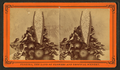 Blossom from the date tree, from Robert N. Dennis collection of stereoscopic views 2.png