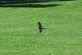 Blue-and-white Swallow 2015-06-02 (3) (26436445568).jpg