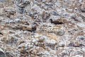 Blue-footed and brown booby (36477534176).jpg