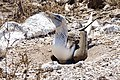 Blue-footed booby (47945193583).jpg