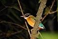 Blue-winged Pitta - Kinabatangan area - Sabah - Borneo - Malaysia - panoramio.jpg