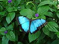 Blue Morpho butterfly at Niagara Parks Butterfly Conservatory, 2010 E.jpg
