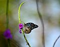 Blue Tiger Butterfly Thane Feb 2016.jpg