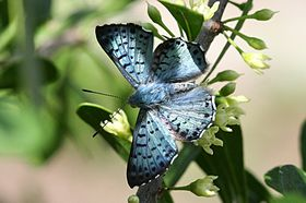 Blue metalmark, male dorsal.jpg