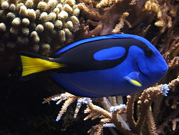 pacific blue tang dory  Paracanthurus hepatus or Palette