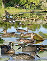 Blue winged teal From The Crossley ID Guide Eastern Birds.jpg