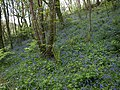Bluebells, Titcombe Wood - geograph.org.uk - 1297337.jpg