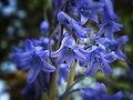 Bluebells (7228034176).jpg