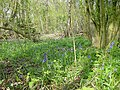 Bluebells in Squirrel Wood - geograph.org.uk - 5099.jpg