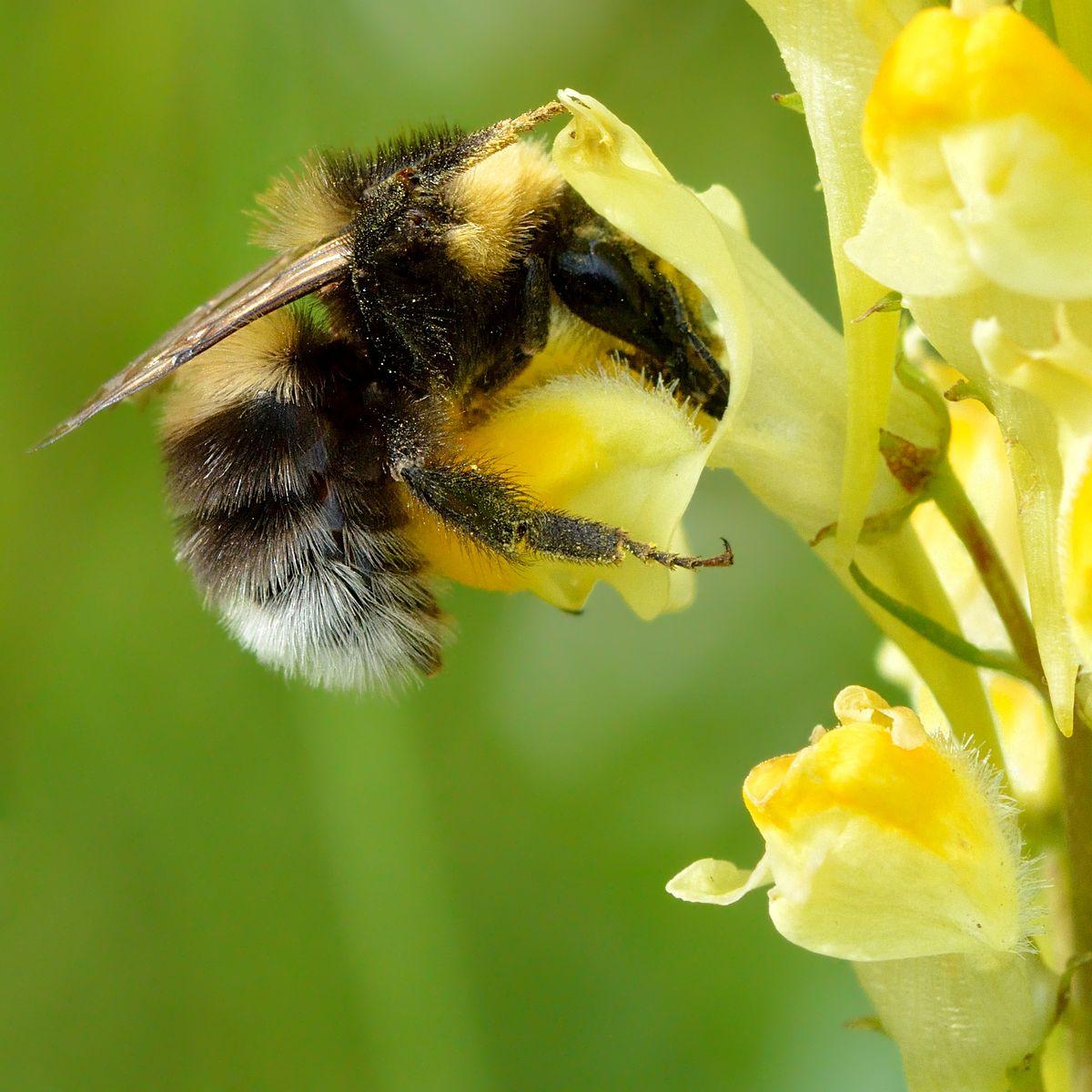Black Bumble Bee >> Bombus hortorum - Wikipedia