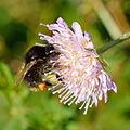 Bombus soroeensis - Knautia arvensis - Keila.jpg