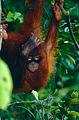 Bornean Orangutan (Pongo pygmaeus) (14399266928).jpg