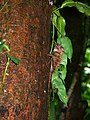 Borneo Forest Dragon (Gonocephalus bornensis) (6748125549).jpg