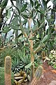 Botanischer Garten der Universität Zürich - Opuntia bergeriana (Web.ex Berger) 2010-09-16 15-37-48.JPG