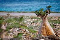 Adenium obesum subsp. socotranum
